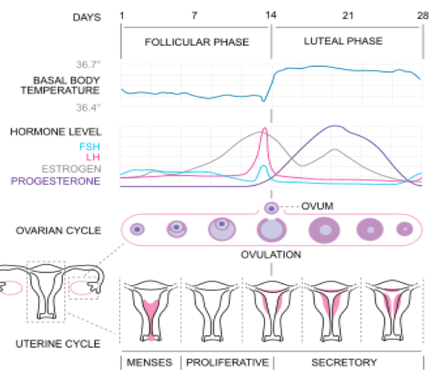 http://upload.wikimedia.org/wikipedia/commons/thumb/2/2a/MenstrualCycle2_en.svg/350px-MenstrualCycle2_en.svg.png